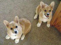 Birdie and Bogey the Corgis