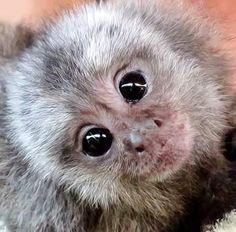 Baby marmoset monkeys for adoption Finland. I need a pet monkey. Cute Baby Monkey, Tiny Monkey, Pet Monkey, Cute Baby Animals, Animals And Pets, Funny Animals, Marmoset Monkey, Pygmy Marmoset, Primates