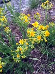 Golden Ragwort was used by the Native Americans as a medicine to sure uterine problems for women.