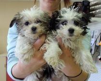 Shih-Tzu/Bichon   The one on the left is Lizzie.  Isn't she the cutest!!