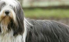 bearded-collie