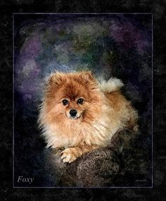 FOXY the Pomeranian for Sarah in Kettering UK A strong canvas textured Oil Paint portrait by Mick John @ MicksterPix