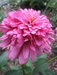 echinacea pink poodle | Echinacea purpurea 'Pink Poodle' - Plant Finder