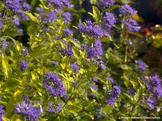 Sunshine+Blue®+II+-+Bluebeard+-+Caryopteris+incana
