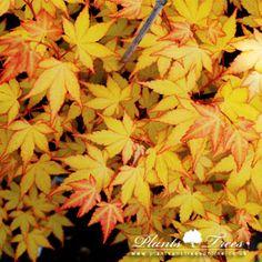 """Acer palmatum """"Summer Gold"""""""
