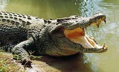 From crocodile dung to a pair of weasel testicles, check out some of the craziest birth control methods. Australian Saltwater Crocodile, Goku Vs Superman, Crocodile Rock, Animal Medicine, Reptiles And Amphibians, Elephant, Alligators, River Bank, Lizards