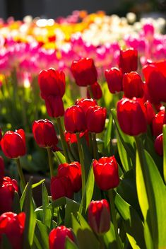 Red tulips against a field of hot pink,white,and yellow tulips.