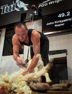 Golden Shears - The skillful sport of sheep shearing has been celebrated each year for over five decades at the iconic Golden Shears competition in the Wairarapa region. #newzealand