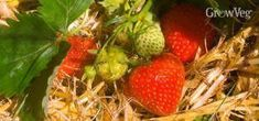 In depth advice about growing strawberries in containers or pots. How to keep plants healthy and produce a large crop. Perfect for small or urban gardens. Strawberry Beds, Strawberry Planters, Strawberry Garden, Fruit Garden, Organic Mulch, Organic Gardening, Gardening Tips, Vegetable Gardening, Growing Strawberries In Containers