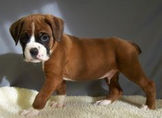played with a boxer today and want one so bad.