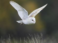 picture of a barn owl flying over grassland