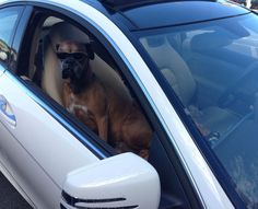 At a CVS parking lot. Hip hop blaring, no driver in sight. Funny Animal Videos, Funny Animal Pictures, Best Funny Pictures, Animal Pics, Funny Boxer, Funny Dogs, A Line Haircut, Ugly Animals, Cute Funny Pics