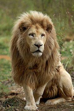 Les lions blancs du parc Kruger, en Afrique du Sud, sont atteints de la même mutation, appelée leucisme. Mais à l'inverse de leurs cousins tigres, ils peuvent vivre à l'état sauvage car le pelage clair n'est pas un handicap dans la savane.