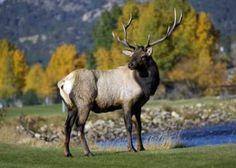 Elk (?)