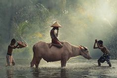 Water Buffalo...1st Anniversary by Vichaya Pop on 500px.. West Java, Indonesia..