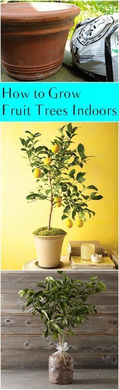 Fruit trees, fruit tree gardening, container gardening, popular pin, DIY container gardening, gardening tips and tricks.