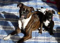 Boxer Buddies