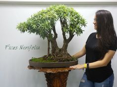 Miami Tropical Bonsai is one of the largest bonsai companies in the United States. We have over bonsai trees in stock, handmade bonsai pots, bonsai tools Bonsai Ficus, Bonsai Art, Bonsai Garden, Bonsai Trees For Sale, Indoor Bonsai Tree, Acer Palmatum, Bonsai Tools, Wonder Art, Baobab Tree