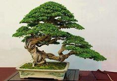 Bonsai 1692
