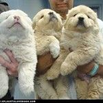 Fluffy Great Pyrenees puppies :D