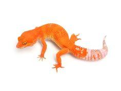 Sunglow | Leopard Geckos