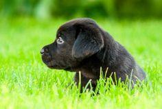 Black labrador puppy on the grass - stock photo