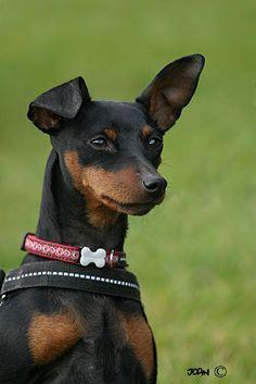 min pin <3 Mini Pinscher, Miniature Pinscher, Doberman Pinscher, Puppy Pics, Puppy Pictures, Mini Doberman, Min Pins, Maggie Mae, Getting A Puppy