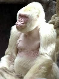Snowflake, the long-lived gorilla who died in 2003, was famous for being the only known albino gorilla. He became a wildly popular attraction at the Barcelona Zoo in Spain, where he lived almost his entire life, becoming almost a mascot for the city.