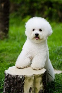 Bichon Frise ..reminds me of my little girl Lacey by Diane opawz.com  supply pet hair dye,pet hair chalk,pet perfume,pet shampoo,spa....