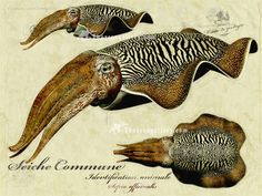 cuttlefish -- These creatures' single bone supplies my turtle, Joi, with calcium and Vitamin D. Science Illustration, Nature Illustration, Antique Illustration, Botanical Illustration, Botanical Drawings, Sibylla Merian, Cuttlefish, Ocean Creatures, Ocean Art