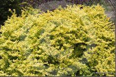 4) Berberys thunberga Aurea