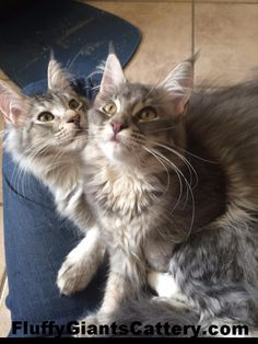 CFA & TICA registered cattery in SE Michigan, we are an in-home Maine Coon breeder, with European Champion bloodlines sire & dames. Bossier City, Maine Coon Kittens, Kitten For Sale, Cattery, Heavy Metal, Michigan, King, Cats, Silver