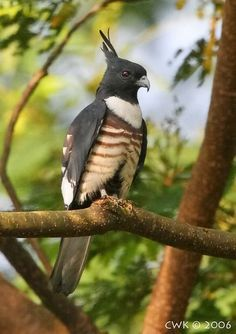 The Black Baza is a small sized bird of prey found in the forests of South Asia and Southeast Asia.