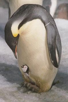 penguins - they are amazing creatures Cute Baby Animals, Animals And Pets, Funny Animals, Mother And Baby Animals, Penguin Animals, Funny Birds, Nature Animals, Wild Animals, Beautiful Birds