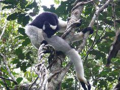 Looking at Lemurs in Madagascar.