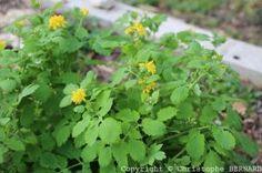 Chélidoine (Chelidonium majus)