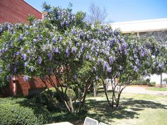Texas Mountain Laurel is gorgeous, fragrant, and tough. Fat clusters of fragrant purple blooms cover the plant in springtime. The shiny foliage is Texas Landscaping, Backyard Landscaping, Landscaping Ideas, Trees And Shrubs, Flowering Trees, Specimen Trees, Texas Gardening, Desert Plants, Drought Tolerant