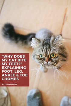 When it comes to cats biting and chewing fingers, there are quite a lot of reasons that do a good job explaining away this common feline behaviour. The same is technically true of why cats bite feet - they do it for a variety of reasons - but to me there's a massive difference in terms of explaining away why cats chomp on fingers versus why cats … Cat Behavior Problems, Cat Biting, Pet Care Tips, Cat Facts, Cat Grooming, Domestic Cat, Cat Toys, Training Tips, Fingers