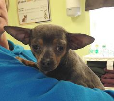 Meet Durango, an adoptable Chihuahua looking for a forever home. If you're looking for a new pet to adopt or want information on how to get involved with adoptable pets, Petfinder.com is a great resource.