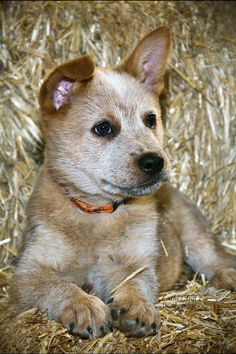 Queensland Heeler Pup also known as the Australian Cattle Dog. We got our dog, Dundee, as an adult form a shelter. he could have looked like this as a pup.