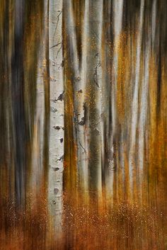 ~~October Walk by Ursula Abresch ~ Birch Trees~~