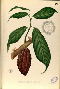 https://upload.wikimedia.org/wikipedia/commons/2/22/Theobroma_cacao_Blanco2.275-original.png