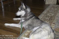 Typhoon pondering the imponderables. #dog #siberianhusky #husky