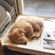 """11.2k Likes, 259 Comments - Golden Retrievers (@goldenretrievers) on Instagram: """"10 Napping Puppies Part 2 Featuring: @jordynwittay @izzy_heart_of_gold @dagagoldenretriever…"""""""