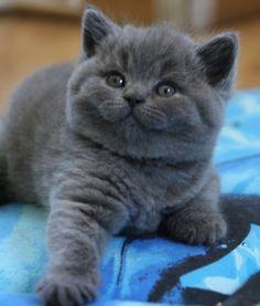 Adorable British Shorthair Kitten