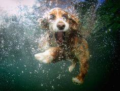So adorable!  A cocker spaniel under water.