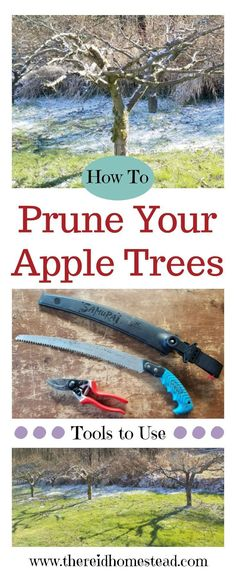 tips on how to prune apple trees on your homestead. A guide and tutorial to show you the best tools to use. The Reid HomesteadMy tips on how to prune apple trees on your homestead. A guide and tutorial to show you the best tools to use. The Reid Homestead Tips And Tricks, Fruit Garden, Garden Trees, Fence Garden, Edible Garden, Garden Bridge, Compost, Pruning Fruit Trees, Apple Tree Pruning