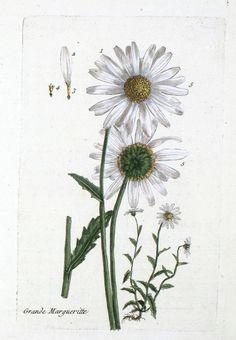 Botanical-La-Flore-Des-Environs-De-Paris-21.jpg (1283×1851)