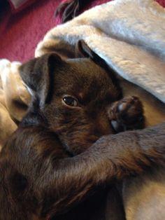 Patterdale Terrier : Bella
