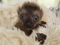 True blue: Rare blue-eyed lemur is born in France